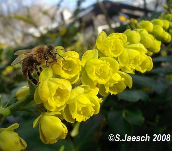 Biene_an_Mahonia_japonica